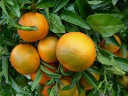 clementine-corse-1.jpg
